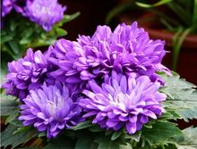 Blue beauty China aster seeds Flowers large Family four seasons to easy management of pot (50 grain)