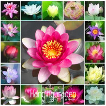 Time-Limit!!cheap water lily seeds, Bonsai balcony flower, water lily potted seed,20 pcs/Pack,#3EAY00(China)