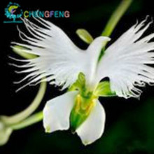 Japanese Radiata Seeds 200pcs World & Rare Flowers 2017 Hot Sale For Garden & Home Planting Free Shipping White Special Flowers