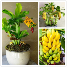 100pcs/bag Potted Banana Seeds Bonsai Organic Fruit Seeds Healthy And Nutritious Food Fruits Dwarf Banana Plant For Home Garden(China)
