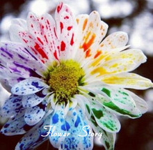 50  Water Color Daisy Seeds Lovely rainbow watercolor daisies Natural DIY Garden Flower Free Shipping