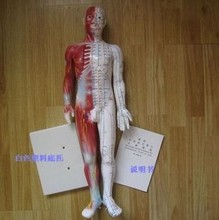 60 cm Human Acupuncture Acupoint Model Muscle Anatomy Human Body Acupuncture Point Model Human Acupoints Model(China)