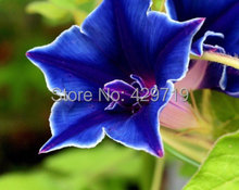 100 Morning Glory Seeds - Japanese Blue Morning Glory (Ipomoea Nil Blue- Seeds ) Dark blue with a purple star and a white edge(China)