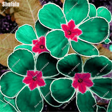 New Arrival 10 Pcs Green Primrose Seeds Amazingly Hybrids Primula Flower Seeds Potted Plant for Home & Garden Pots Planters(China)