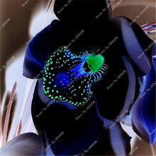 Rare black orchid flowers exotic spieces orchid seed germination 95% easy grow seedlings about 100 pcs
