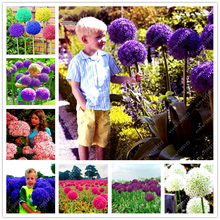 100 pcs giant Allium giganteum beautiful flower seeds home garden plant pot The grass rate 98% for children gift easy to grow