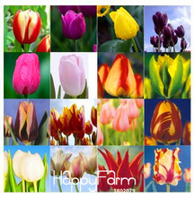 Best-Selling!Tulip bonsai, not tulip bulbs, hydroponic bonsai flower tulip seeds - 50 pcs/Pack,#ODVKLE