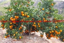 50pcs Edible Fruit Mandarin Indoor Bonsai Tree Seeds Citrus Bonsai Mandarin Orange Seeds(China)