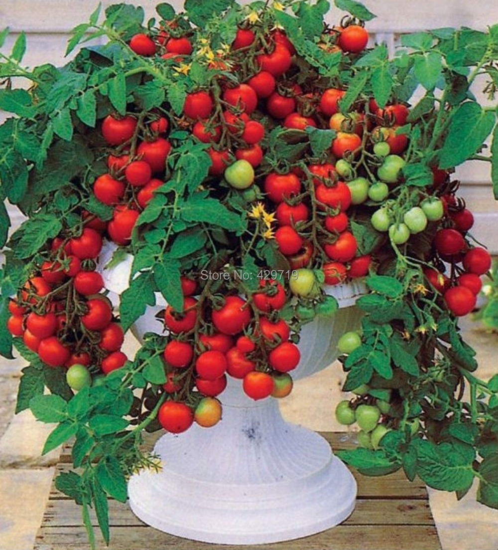 Что сделать чтобы зелёные помидоры покраснели? 79