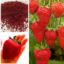 Strawberry Seeds,super Giant Strawberry Fruit Seed Apple Sized 100% True Variety NOT Fake,100 Pcs/bag g58(China)