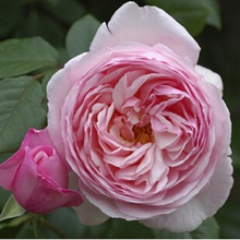 Queen Rose Aromatic easy to grow 100 flower seeds