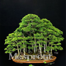 50PCS Perennial Juniper Bonsai Tree Seeds Potted Purify the Air Absorption Radiation Pine Tree Seeds DIY Home Garden(China)