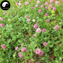 Buy Herba Red Clover Seeds 800pcs Plant Trifolium Pratense For Hong Che Zhou(China)