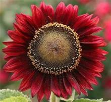NEW 15pcs / bag Red sunflower flower Seeds, Fruit and vegetable seeds can bring good luck Bonsai plants Seeds for home & garden