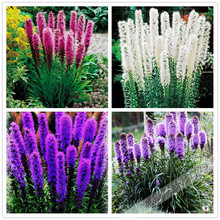 100pcs/Gayfeather (Liatris Spicata) seeds  Bonsai Plant flower seeds for home garden. Mixed Color,Perennial Native wildflowers !