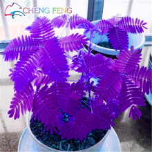 2016 Rare 50pcs Bashful Grass Seeds Foliage Mimosa Pudica Sensitive Potted Foliage Plants For Home Garden Diy Plant Semente