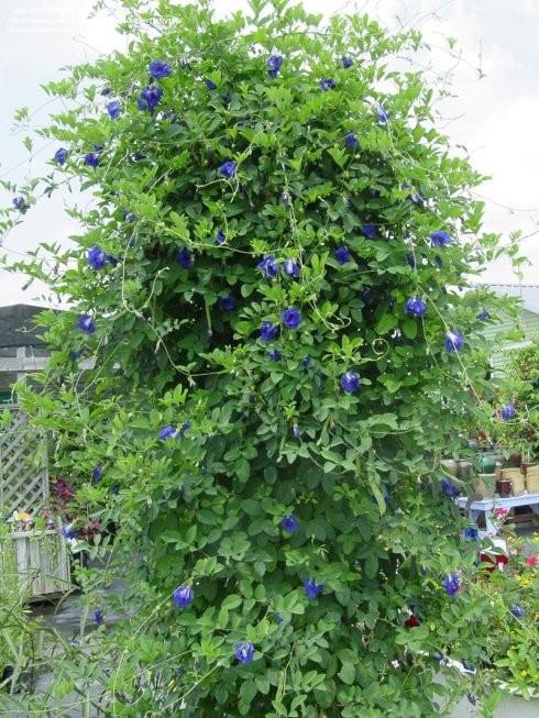 Thé pois papillon ou fleur pois bleu plante | oko oko