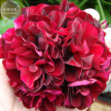 BELLFARM Geranium Black Rose Pelargonium Seeds, 10 Seeds, Professional Pack, pelargonium perennial big blooms BD084H