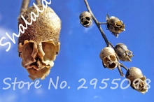 New Arrival The Death Rose Seeds Rare and Mysterious Plant Species of Snapdragon Flower Seed Pods Skull 100PCS