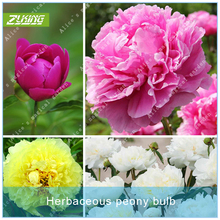 Buy ZLKING 1PCS Herbaceous Peony Bulb Flowers Bulbs Potted Home Garden Balcony Plant Bulbous Seeds High Germination Rate Bonsai for $3.98 in AliExpress store