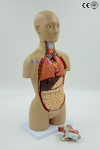 Free shipping&Half life size human torso model 16 parts.Viscus Structure of human body organs.Bisexual trunk model.