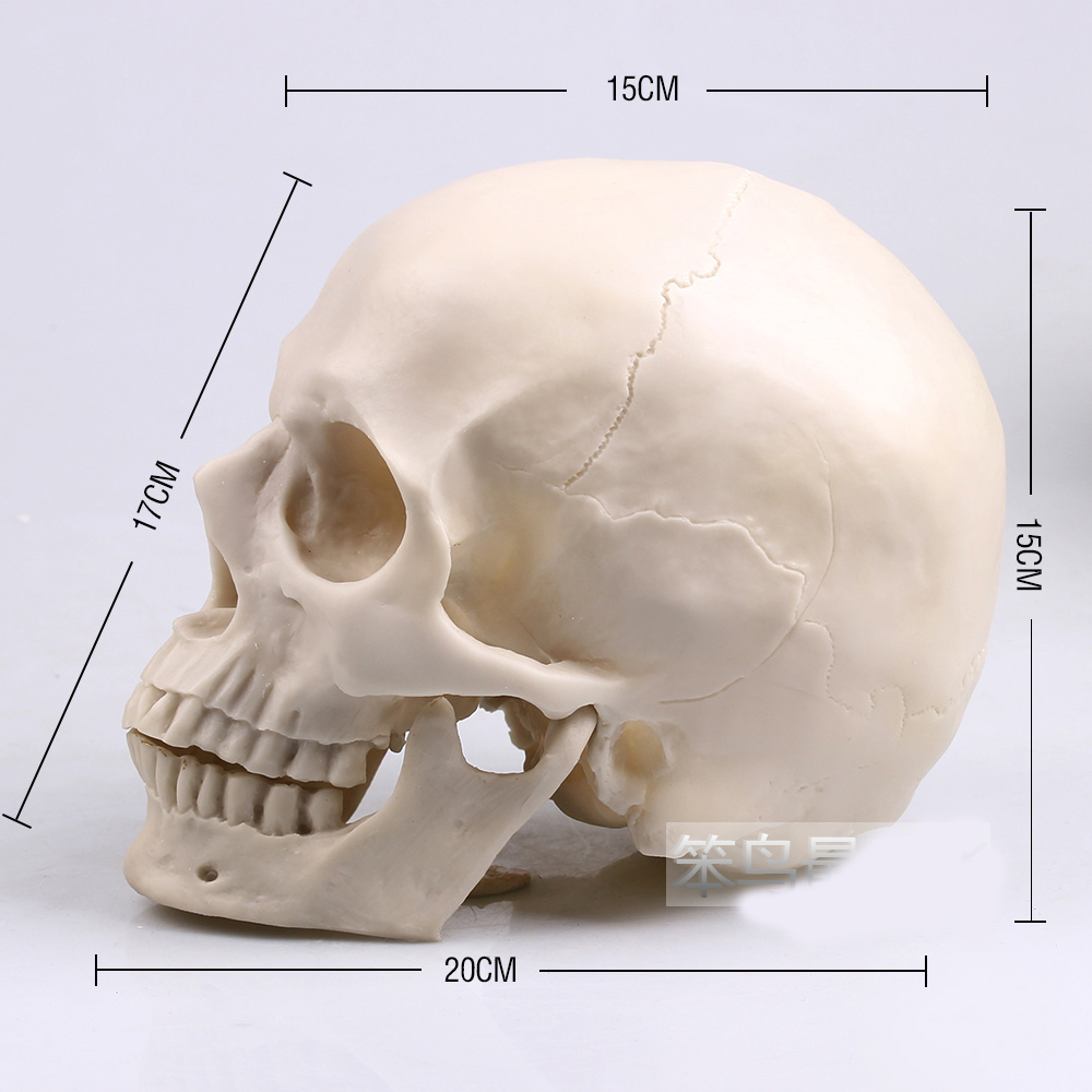 1: 1 human skull model life size white resin skull model human skeleton model 1 order<br>