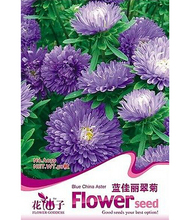 FD2056 Blue China Aster Seed Callistephus Beautiful Flower Hot ~1 Pack 30 Seeds~