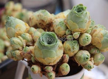 20pcs mountain rose seeds, best gift, succulents seeds, free shipping