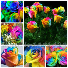 Free shipping 100 Seeds Rare Holland Rainbow Rose Flower Lover Multi-color Plants Home Garden rare rainbow rose flower seeds(China)