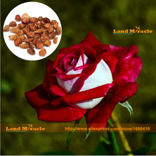 Rainbow Rose Seeds, 20 Seeds/PACK, Rare Baccara Organic Tea Rose-Wild Bush Rose flower Plant for DIY Home Garden Plant