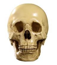 1:1 Human Head Skull Resin Anatomical Medical Teaching Skeleton Split Model YLW/ WHT