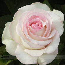 1 Professional Pack, 50 seeds / pack, New Moonstone Hydrid Tea White Pink Rose Flowers Seeds #A00212