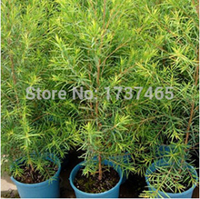 10pcs/lot Australia tea tree  Melaleuca ahemifolia seed  Vanilla seeds bonsai plant DIY home garden free shipping