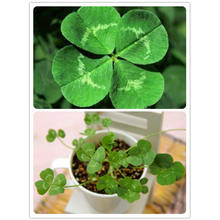 Lucky 200pcs Four Leaf Clover Grass Seeds Decoration Grow Your Own Luck Interest Countryside DIY flower seeds Home Garden