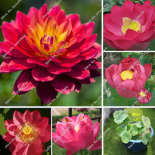 New 10 Red Lotus Nymphaea Asian Water Lily Pad Flower Pond Seeds Aquatic plants Seeds High Budding Rate Aquarium Plants