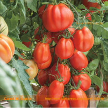 Giant Garden Paste Fresh Tomato Seed, 100 Seeds/Pack, Annual Fecund Amazing Vegetable & Fruit Seed For Home Garden-Land Miracle