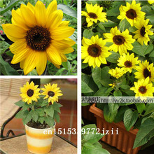 Big sale 50 pcs/bag Helianthus Red Sunflower Seed, Red Sun Fortune Bloom, Garden Heirloom Seeds, Flower Seeds, Bonsai Plants Fre