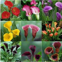 Colorful Calla Lily Seed Rare Plants Flowers Seeds(not Calla Lily Bulbs) -20 Seeds Promotions Bonsai