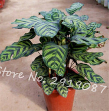 Home garden planting 80 Pcs Very Rare Calathea Flower Seeds, Holiday Peacock Plant, Low Light, High Humidity, Easy to Grow(China)