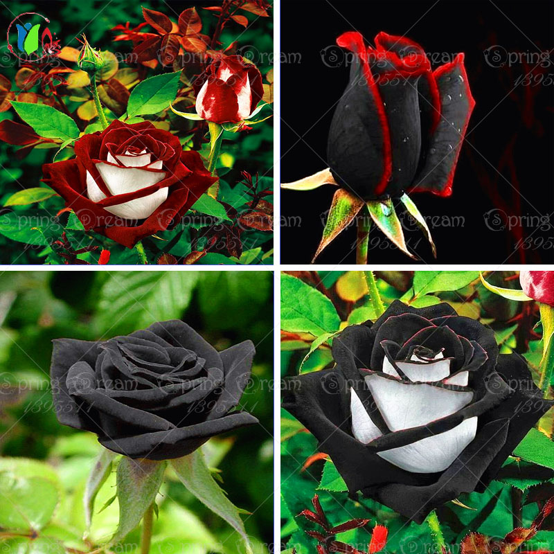 100 rare rose seeds Black Rose Flower with Red Edge Rare Rose Flowers Seeds.For Garden Bonsai Planting(China (Mainland))