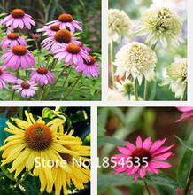 Hardy Perennial Echinacea x hybrida 'Magic Box' Coneflower Seeds, Professional Pack, 200 Seeds / Pack, Very Beautiful Park Bonsa