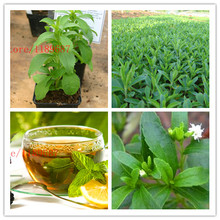 500 new Stevia Seeds, Stevia Herbs Seeds Green Herb, Stevia rebaudiana Semillas for Garden Planting chinese cheap herb seeds