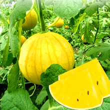 1 Original Packing 200pcs  yellow flesh watermelon seeds precocious growth period 85 days high sugar content fruits