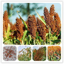 20 Pcs Great Whole Grain Sorghum Seeds Red White Sorghum Seeds Can Eat Wine Quality And High Yield Healthy Food Bonsai Vegetable(China)