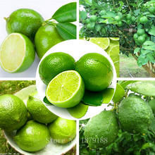 Thai Organic Key Lime Seeds Citrus Aurantifolia Lemon Seeds Fruit Seeds 20PCS D027
