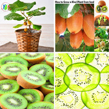 new rare kiwi seeds Gold Yellow Kiwi fruit seeds Vegetable Fruit melon seed For DIY Home plant-200pcs(China)