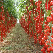 chwy Hot Sale Time-limited Regular Novel Plant Pots Planters Plants New!!! 200 tomato seeds/pack