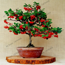 10pcs/bag Coffee Bean Seeds Balcony Bonsai Tree Plant Seed Coffee Cherry Seeds for  Home Graden Plant