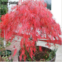 50 Particle / Bag toronto maple leafs red maple seeds Crimson Queen Seeds flower maple bonsai tree for garden Four seasons plant(China)