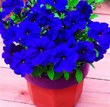 Blue Petunia Flower Seeds 200PCS Scarce Rare Garden Bonsai Petunia seeds
